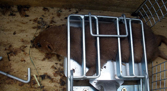 Stoat trapping